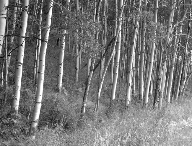 AspenTrunks(BW)_1(WEB)